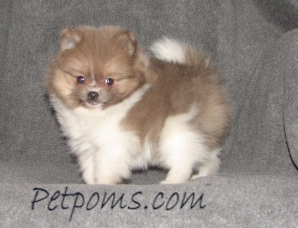 beaver colored Pomeranian
