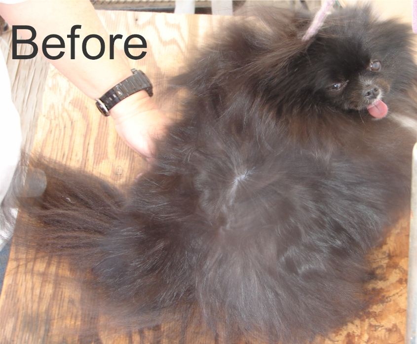 The Pictures For Lion Cut Black Pomeranian