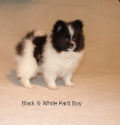 Black And White Parti Pomeranian Puppy